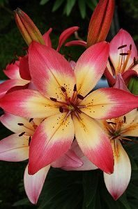 Lilium Jubilee Joy NEW