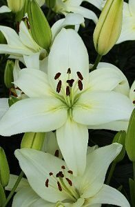 Lilium Nova Joy NEW