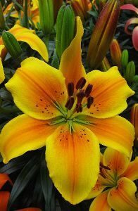 Lilium Golden Joy